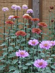 Choji-giku (s.itto) Tags: shinjukugyoen autumn chrysanthemum november morifolium