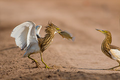 Indian Pond heron with catch (Irtiza Bukhari) Tags: irtiza bukhari irtizabukhari wwf pakistan indian pond heron wildlife wildbirds wildbird two bird beauty nature canon canon70d 400mm 400mm56 fish catch breakfast earlymorning sunrisethismorning sunrise