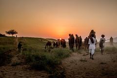 L1003391.jpg (Bharat Valia) Tags: pushkarfair bharatvalia desert rajasthanportraits bharatvaliagmailcom sheperd pushkarimages pushkarmela festivalsofindia camel pushkarcamelfair pushkar