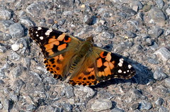 Painted Lady (Mary (No Group Invites Please)) Tags: painted lady butterfly
