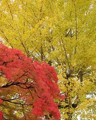 Fall colors (Frank Fujimoto) Tags: ogimachi japan