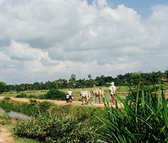 Cambodian countryside (naomicap) Tags: farmer fields ricefields cambodia countryside motorbike cows