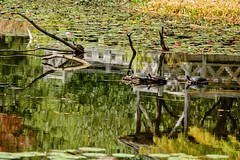 Turtles in Giverny (brev99) Tags: turtles tamron180f35 colorefex reflections branches d7100 pomd water