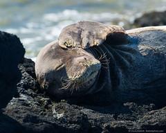 20120528-Kaena-0377-Edit (cbabbitt) Tags: hawaii kaenapoint oahu waianae endangered mammal monkseal seal