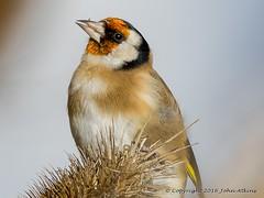 Goldfinch Portrait 20/10/16 (johnatkins2008) Tags: goldfinch gardenbirds woodland woodlandbirds wildlife wildlifephotos johnatkins2008 nenepark ferrymeadows