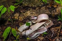 Ridleys Cave Racer - Othriophis taeniurus ridleyi (shanicy) Tags: herp krabi thailand herping road cruise   snake outdoor animal macro caveracer