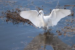 Snowy egret (avilacats) Tags: droh dailyrayofhope