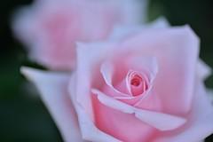 Rose 'Audry Hepburn' raised in USA (naruo0720) Tags: rose americanrose audryhepburn americanrosecollection macro bokeh