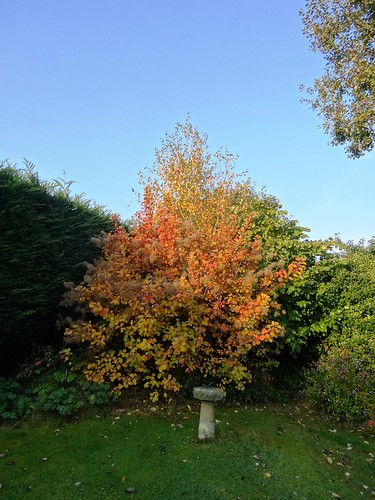 Smoke bush and silver birch behind