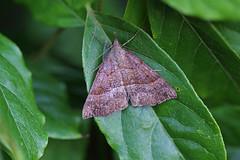 Snout, St Bees, Cumbria, England (Terathopius) Tags: snout stbees cumbria england greatbritain gb unitedkingdom uk hypenaproboscidalis erebidae hypeninae