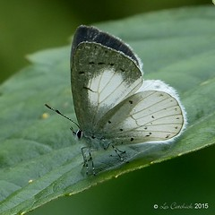 White hedge blue (LPJC) Tags: munnar kerala india 2015 lpjc butterfly whitehedgeblue udaraakasa