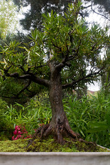 Deceptive Penjing (TheOtter) Tags: chinesegarden penjing tree