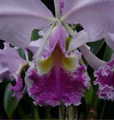 Cattleya warscewiczii (fredcatt) Tags: orchids cattleya