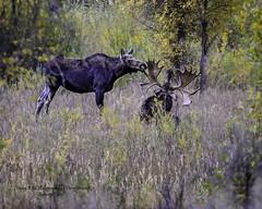 Pretty Sure This Cow Has Made Her Choice For A Mate (Hawg Wild Photography) Tags: moose wildlife nature animal animals grand teton tetons national park jacksonholewyoming terrygreen nikon nikon200400vr nikond4s hawg wild photography