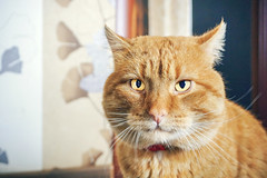 Mr. Mew (ERNIS31) Tags: kitty portrait likehuman mister mr ponas katinas homesweethome home a6000 kitlens sony sonyphotography portretas cute cats look eyes ginger gingercat