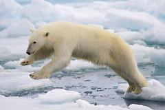 Single bear (rschumann) Tags: 2011 action arctic bear europe fauna jump land libro mammal marinemammal nature norway plantigrade polarbear predator spitsbergen svalbard top10 top100 ursusmaritimus wildlife wpy12