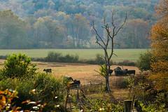 Betty's Creek Road - Rabun Co., Ga. (DT's Photo Site) Tags: rabun county georgia rural rustic vintage pasture farm cows mountain dillard ga country roads fall foliage autumn