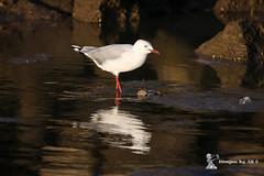 2016_11_06_0122-1 (ImagesbyAB) Tags: australia bird qld seagull silvergull wildlife scarborough
