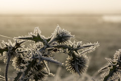 Fost covered thistle (Jesper Krogh, DK) Tags: tidsel tidligmorgen thistle frost vinter vissingenge vintermorgen wintermorning winter