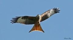Nibbio Reale - Red Kite ( Milvus Milvus ) (Michele Fadda) Tags: canoneos70d sigma150600mmf563dgoshsm|contemporary015 sigma150600c sardegna sardinia italy redkite milvusmilvus nibbioreale nature natura avifauna bird uccello volatile volo flight faunaprotetta rapace raptor falco photoscape