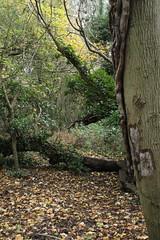 IMG_8878 (Geoff_B) Tags: badockswood bristol walkinthewoods autumn november unprocessed unedited