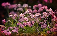 infinie douceur (.Sophie C.) Tags: fleur flower flore myosotis jardin garden jardinpublicdecambrai publicgarden cambrai 59 leshautsdefrance