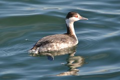 Red-necked Grebe (Delta Naturalists Casual Birding) Tags: 201205 blaine dncb