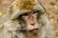 Portrait singe Magot (Kaya.paca) Tags: singe primate macaque lamontagnedessinges portrait animal nature outdoor portraiture bokeh eyes alsace france canon bokehlicious flickrunitedaward autofocus