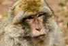 Portrait singe Magot (Kaya.paca) Tags: singe primate macaque lamontagnedessinges portrait animal nature outdoor portraiture bokeh eyes alsace france canon bokehlicious flickrunitedaward autofocus