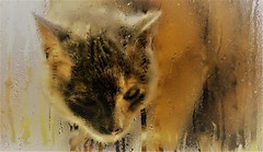 Golden blurry cat (Ookpik Photo Video Drone) Tags: cat chat autumn automne gold wet kitty pussycat window fenetre rain pluie mysterious dof blurry animal fauna chatte droplet gouttes mouille panasonic gh4 lumix 425mm f17 7dwf grey golden inexplore