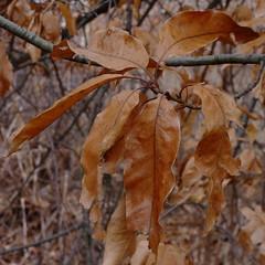 Shingle Oak (Dendroica cerulea) Tags: shingleoak quercusimbricaria quercus fagaceae fagales tree oak plant leaf autumn richardarutkowskipark bayonne hudsoncounty nj newjersey