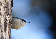 Pygmy Nuthatch (Sitta pygmaea); Santa Fe National Forest, NM, Thompson Ridge [Lou Feltz] (deserttoad) Tags: wildlife nature newmexico mountain desert bird wildbird nuthatch behavior