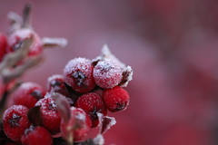 Frost (roger_forster) Tags: frost berries red cotoneaster alverstoke gosport hampshire winter
