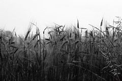 Wheat (David K. Marti) Tags: field wheat detail agriculture plant growth growing season seasonal summer sky light shadow nature natural outdoors outdoor outside landscape scenic scenery grass straws weed leaves day daylight calm quiet black white blackwhite bw mono monotone monochrome country countryside grey gray