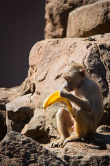 "Reading the ""Banana Today"" (Cloudtail the Snow Leopard) Tags: mantelpavian zoo neunkirchen tier animal mammal sugetier pavian affe monkey hamadryas baboon papio"
