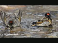 Red-fronted Serin (Esmaeel Bagherian) Tags:              esmaeelbagherian bird birds birdsofiran birdwatching 2016 1395 nikon nikond7000 tamron tamron150600 redfronted seringoldfronted serinserin front dorserinus pusillus
