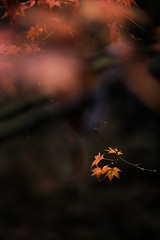 Itsukushima (Miyajima) - Momijidani Park (ジェイリー) Tags: momijidanipark 紅葉谷公園 厳島 宮島 itsukushima miyajima momiji 紅葉 japan 日本 hiroshimaprefectures 広島縣