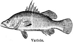 Anglų lietuvių žodynas. Žodis variole reiškia <li>variole</li> lietuviškai.