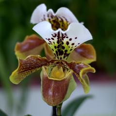 Orchids (VinayakH) Tags: flowers plants holland gardens spring europe tulips natural thenetherlands keukenhof lisse southholland keukenhofgardens gardenofeurope