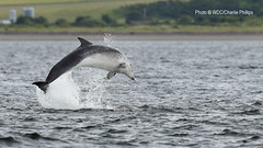 _1DX9714 (Charlie S Phillips) Tags: sea marine dolphin conservation wdc charlie dolphins whale moray firth bottlenose tursiops truncatus
