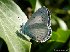 Holly Blue (Roger B.) Tags: butterfly unitedkingdom sheffield ivy southyorkshire hederahelix hollyblue celastrinaargiolus corkerwalls
