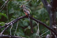 Elegant Trogon (Christopher Lindsey) Tags: arizona birds birding caterpillar sierravista cochisecounty eleganttrogon huntercanyon