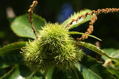 Maroni / marron (Castanea sativa) (HEN-Magonza) Tags: tree nature fruit flora natur marron frucht baum maroni castaneasativa botanischergartenmainz mainzbotanicalgardens