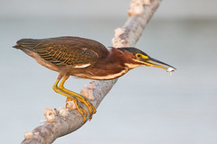 Take The Red-eye (gseloff) Tags: bird sunrise texas feeding wildlife pasadena greenheron baitfish menhaden kayakphotography gseloff