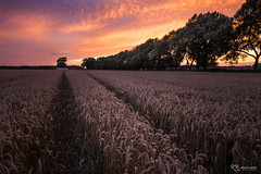 Lincolnshire Wheat (KRLandscapes) Tags: uk sunset sky sun field fire corn cornfield fuji outdoor wheat rows lincoln fujifilm 1855 agriculture cloudscape xt1