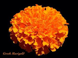 Greek Marigold