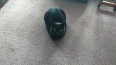 Here's a novelty Shaky is in!!! (cheggars2) Tags: cats shaky blackcats flickrcats