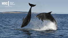 _7D21450 (Charlie S Phillips) Tags: dolphin wildlife phillips watching conservation wdc charlie moray firth bottlenose tursiops truncatus