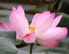 IMG_0450a (singaporeplantslover) Tags: nymphaea   lotus