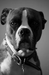 B&W dog boxeur (yannick_gagnon) Tags: bw dog chien pets animal noiretblanc pentax animaux noirblanc boxeur pentaxlife pentaxk50